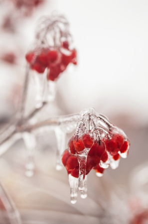 implications: Ice-covered branches viburnum after freezing rain Stock Photo
