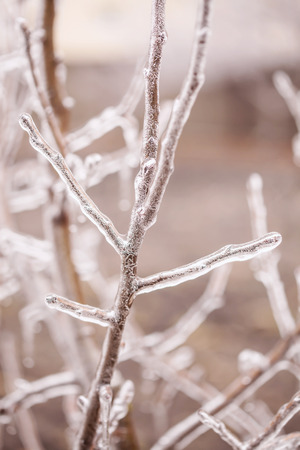 wintery snowy: Ice-covered branches tree after freezing rain