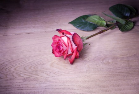 bicolor: Beautiful rose on wooden background.