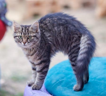 grey cat: Grey Cat bends his back.