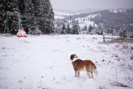 st bernard: St. Bernard dog looks into the distance of the ski slopes.