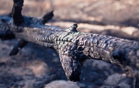 charred: Charred tree trunk. Burnt wood.