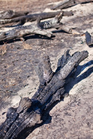 charred: Charred tree trunks, after fire