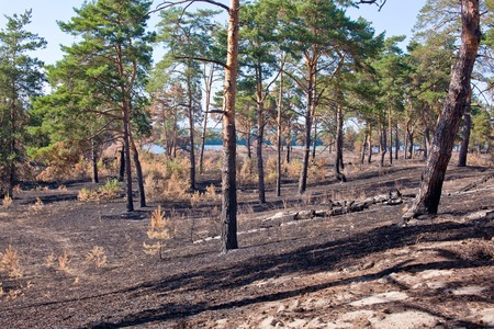 piny: Consequences of grassroots wildfire in the pine forest.