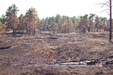 grassroots: Consequences of grassroots wildfire in the pine forest.