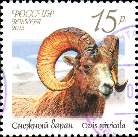 RUSSIA - CIRCA 2013: Postage stamp printed in Russia shows snow sheep (Ovis nivicola), series Fauna of Russia. Wild goats and rams Editorial