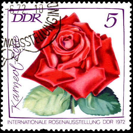 GDR - CIRCA 1972: postage stamp printed in GDR shows image of rose Karneol , International exhibition of roses in Erfurt