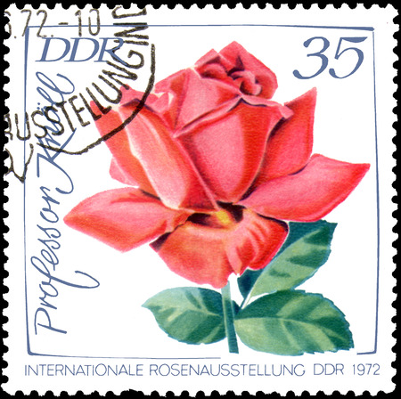 GDR - CIRCA 1972: postage stamp printed in GDR shows image of rose Professor Knoll, International exhibition of roses in Erfurt
