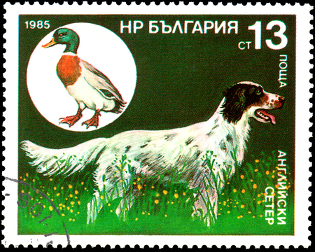 BULGARIA - CIRCA 1985: a postage stamp, printed in Bulgaria, shows a English Setter and wild mallard Editorial