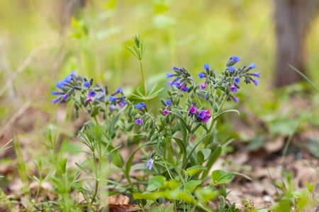 The medlina with blue and purple flowers grows in the forest. Stock Photo
