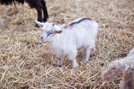 Little cute goatling standing on a straw