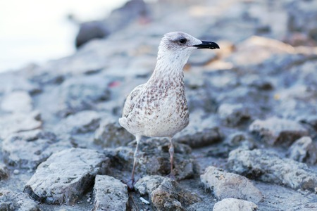 A gray seagull sits on a stone against the sea. Stock Photo
