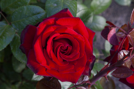photograph of a pretty red rose in the foreground, where you can see all its petals open, surrounded by green leaves. Stock Photo
