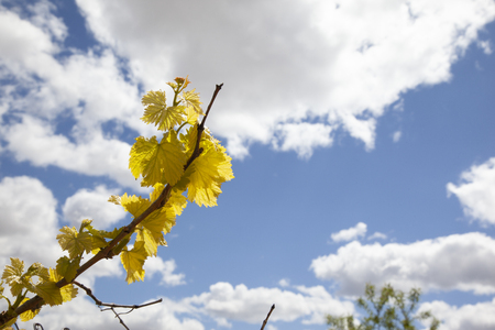 detail of a grapevine in spring, when it is sprouting and its buds are young, strong, healthy, and of a yellowish color