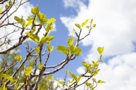 Detail of a fig line at the just time when its branches begin to spread. Young green and strong forces that grow up to the blue sky on a sunny day and with clouds. living nature.