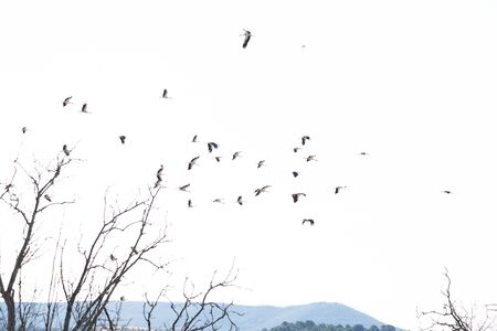 a group of storks that has spent the night resting, decides to continue their journey in the morning and takes flight over a beautiful blue sky Stock Photo