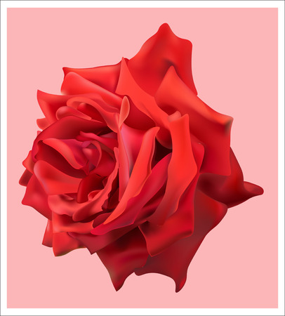 bright: bright blooming red rose Illustration