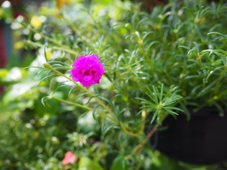 Fuschia pink Purslane full bloom in the morning with green leaves (Portulaca grandiflora)