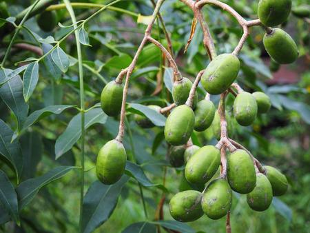 hog: Fruits of raw Hog Plum (Spondias pinnata)