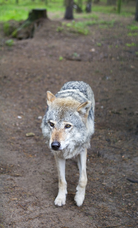canis lupus: Grey Wolf (Canis lupus) Portrait - captive animal