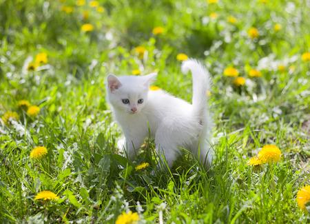 gaze: adorable white fluffy kitten in the grass