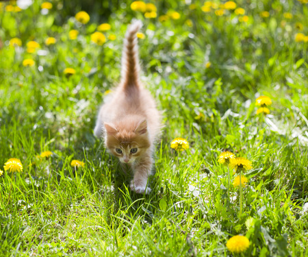 cute small fluffy red kitten on green grass photo