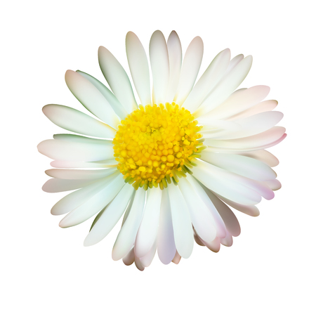 Daisy or chamomile isolated on white background, vector illustration photo realistic macro. Top view flower.