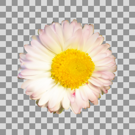Daisy or chamomile flower on transparent grid background, vector illustration photo realistic.