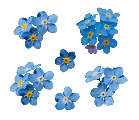 Blue forget me not spring flowers isolated on white background. Photo realism macro. Decorative elements for greeting cards, invitations. Vector set for your design.