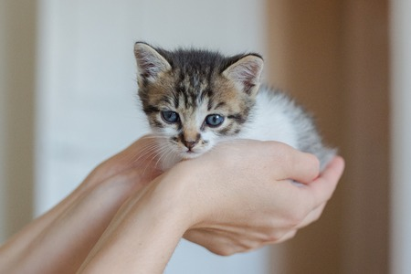 Close up of cute kitten in womans hands. Pretty woman holding a cat closely to the camera. Indoor. Adorable kitty