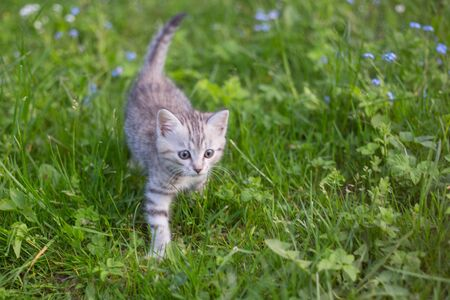 Little Playful Gray Kitten Play and Run on a Green Grass. Cat for the first time outdoor.