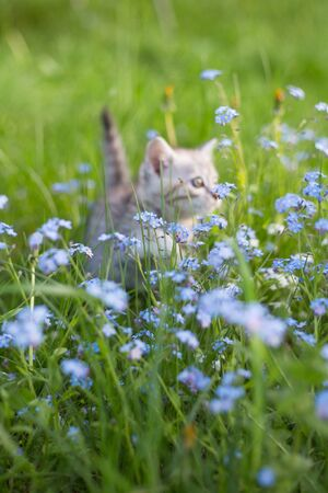Little Playful Gray Kitten Play and Run on a Green Grass in the meadow with forget-me-nots. Cat for the first time outdoor. Stock Photo