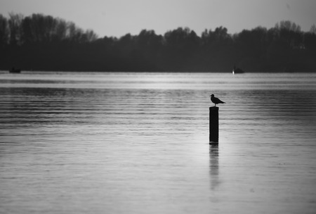 a lone seagull sitting and resting on a wooden pole in a huge lake with a forest and small boats in the background in black and white