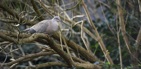 a lone gray pigeon bird sitting on a tree branch during day