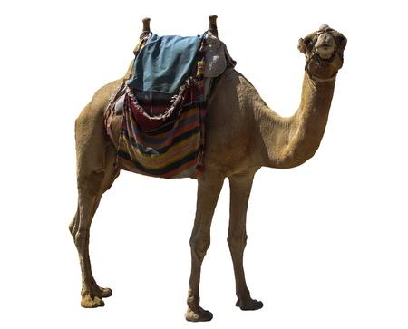 Camel atracción para los turistas en Eilat, Israel