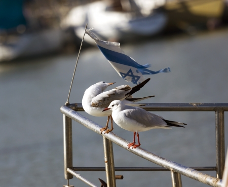 Seagulls under the flag of Israel Stock Photo - 17429008