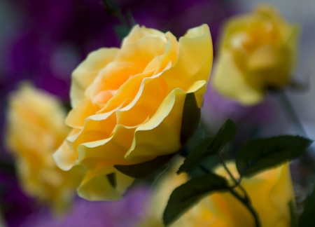 yellow rose close-up focus on foreground Stock Photo - 18050951