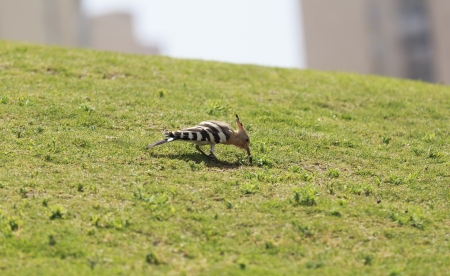 Hoopoe bird on the lawn photo