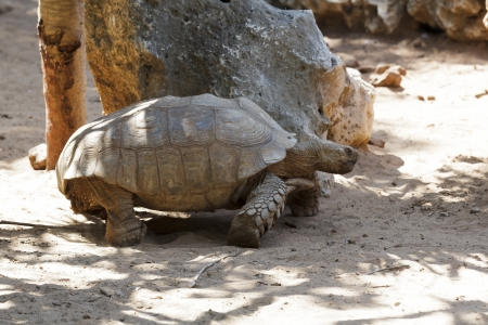 large turtle: A large turtle in the shadow of the stone
