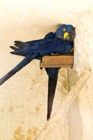 polly: Blue parrot hid from the heat Stock Photo