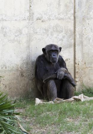 chimpances: Chimpanc�s reflexiones sobre la vida