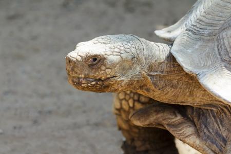 large turtle: A large turtle portrait