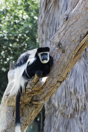 colobus monkeys sitting in a tree photo