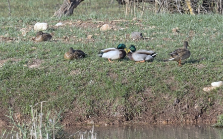 nature reserves of israel: migratory birds in the Hula Nature Reserve