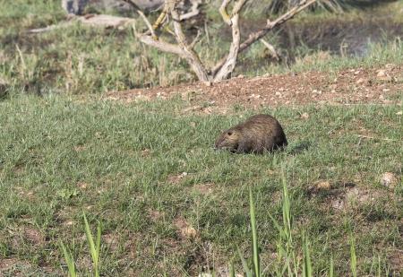 ramble: Nutria on the green meadow