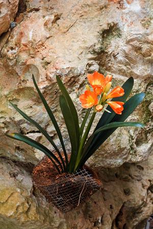 ornithogalum dubium: Star of Bethlehem flower orange Stock Photo