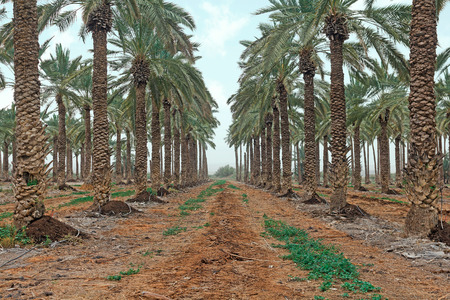 Plantation of palm trees in Israel photo