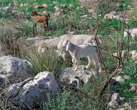 mountain goats: capre di montagna in natura