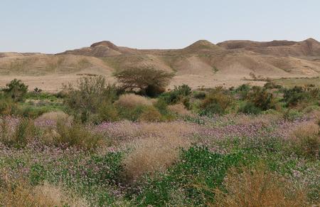 negev: Blooming Negev desert, Israel