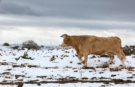 israel farming: Portrait of a cow on the background of snow in Israel Stock Photo
